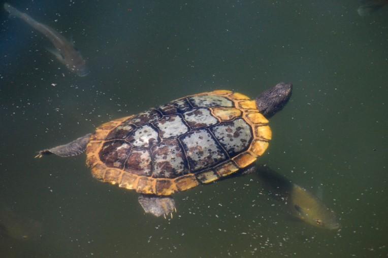 Gold-Rimmed Turtle