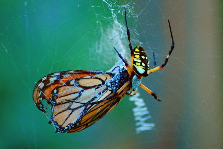 Spider Eating a Monarch Butterfly