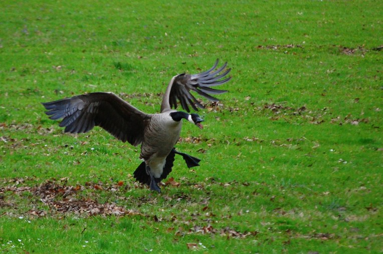 Canadian Goose Attack Mode